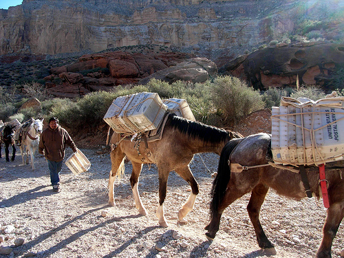 Havasupai Mule Train 3